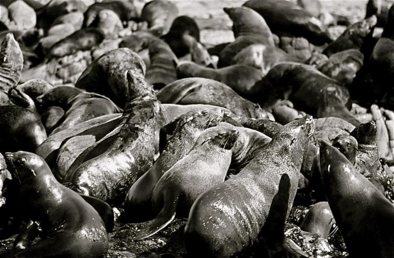Leones marinos del Cabo.