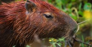 Capibara confiado