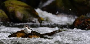 Mirlo acuático en la espuma del río