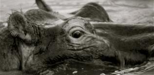 Hipopótamo.